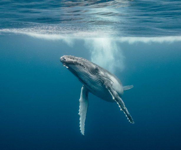 whales-underwater-darrenjew-whale-21